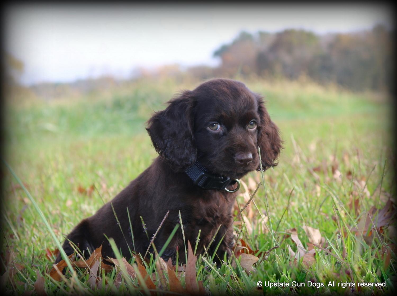 Boykin Spaniel Puppies – Boykin Spaniels and other Gun Dogs