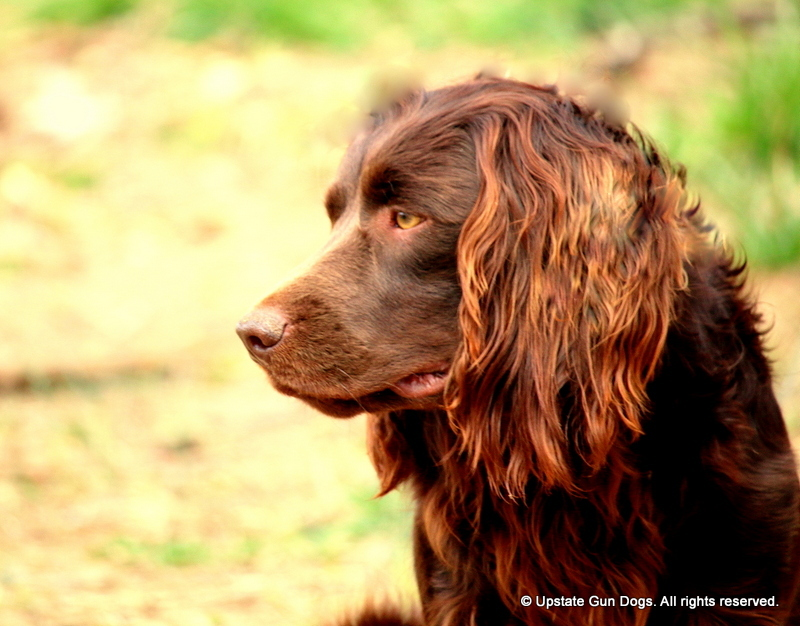 boykin spaniel history boykin spaniels and other gun dogs