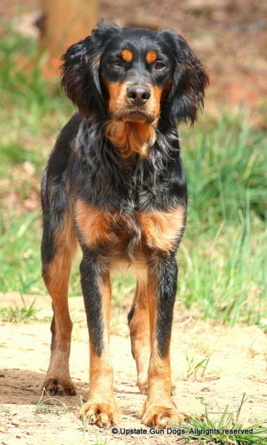 French Brittany History Boykin Spaniels And Other Gun Dogs