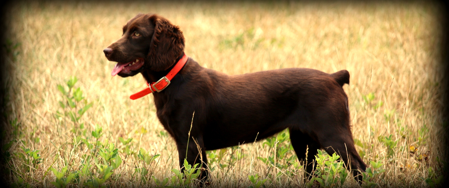 Boykin Spaniels and other Gun Dogs Available for Sale