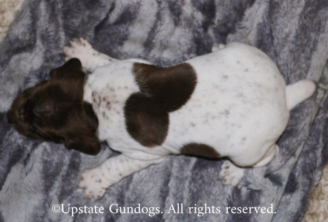 Kenya's Puppies - Boykin Spaniels and other Gun Dogs ...